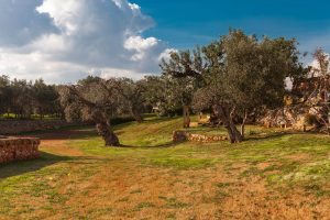 Luxury Masseria Torre Abate Risi Puglia by BeeYond Travel 10 | Olive Trees