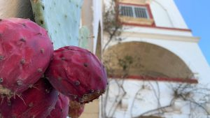 prickly pears in Puglia